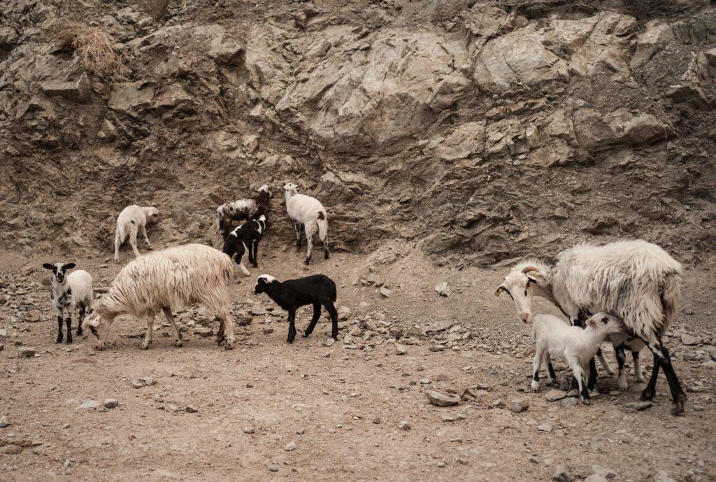 A group of sheep among the rocks.