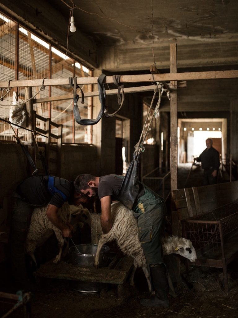 Kostas and his cousin Andreas milk their sheep as an older relative watches. At this time of year sheep are milked twice a day for a period of six months.